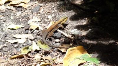 Un lézard au parc du volcan Arenal - Costa Rica