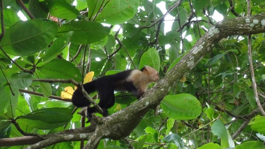 Un singe capucin au parc de Cahuita - Costa Rica