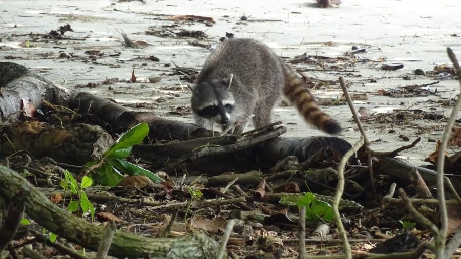 Un raton laveur - parc de Cahuita (Costa Rica)