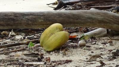 Noix de coco au parc de Cahuita - Costa Rica