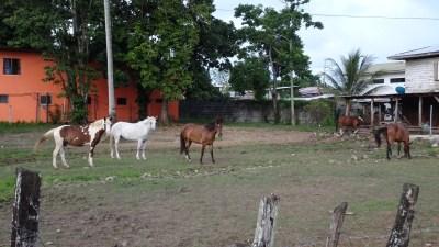 Des chevaux à Cahuita - Costa Rica
