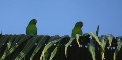 Perroquets verts dans notre jardin d'El Roble - Costa Rica