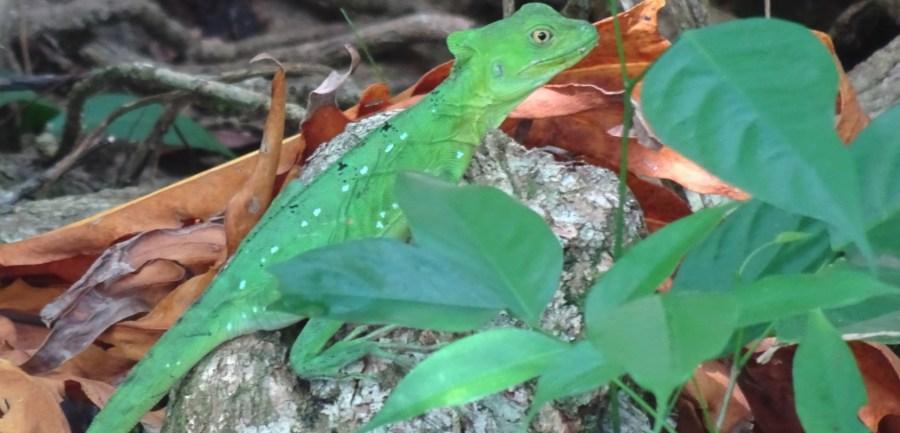 Un lézard vert - parc de Cahuita (Costa Rica)