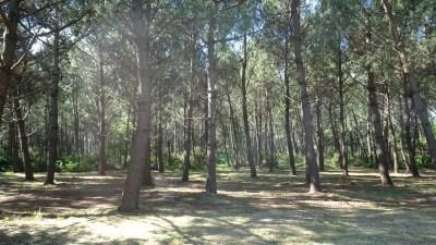 La forêt de pins le long du lac de Carcans-Hourtin