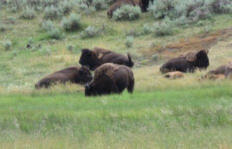 Bisons - Yellowstone NP