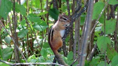 Ecureuil au Anicinabe RV Park campground - Kenora - Ontario (Canada)