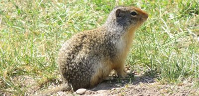 marmotte canadienne -  Wapiti RV Campground - Canmore
