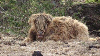 Des vaches Highland - Les Moutiers-en-Retz