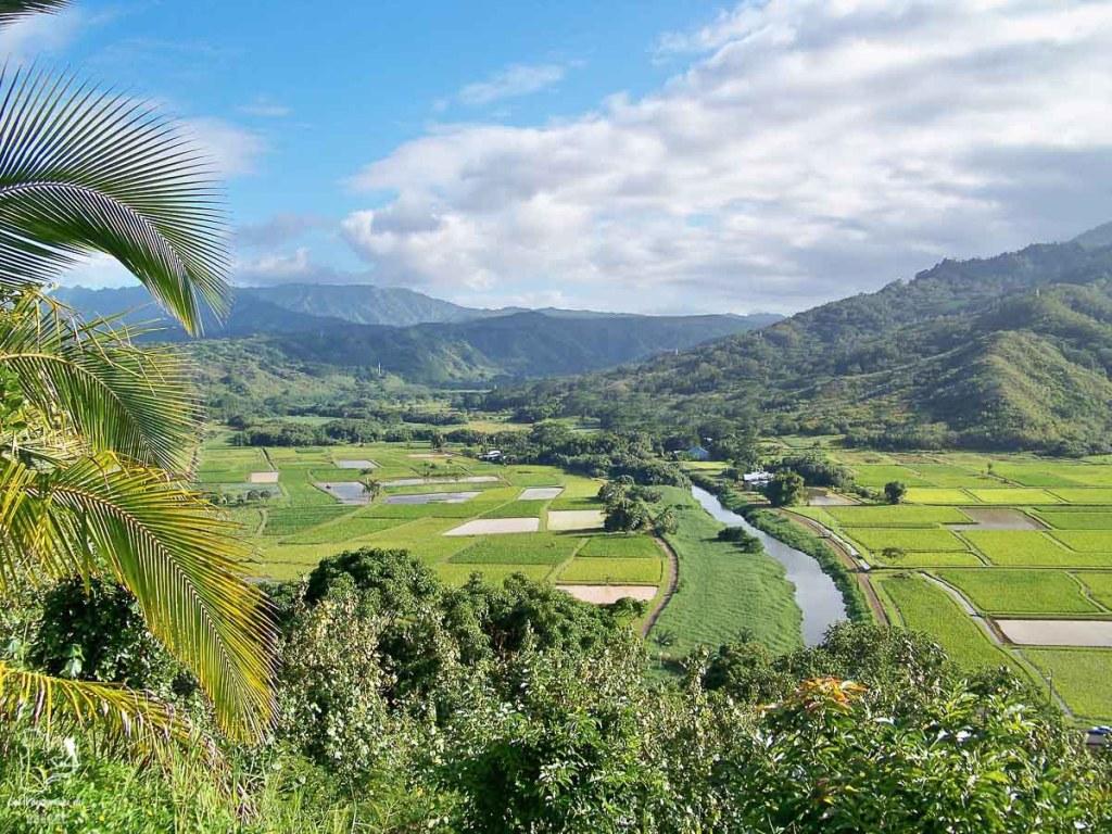 Champs de tarots sur l'île de Kauai à Hawaii dans notre article sur Visiter Kauai à Hawaii : 12 incontournables à faire sur l'île de Kauai #kauai #hawaii #voyage #usa #ile #iledekauai #kauaihawaii