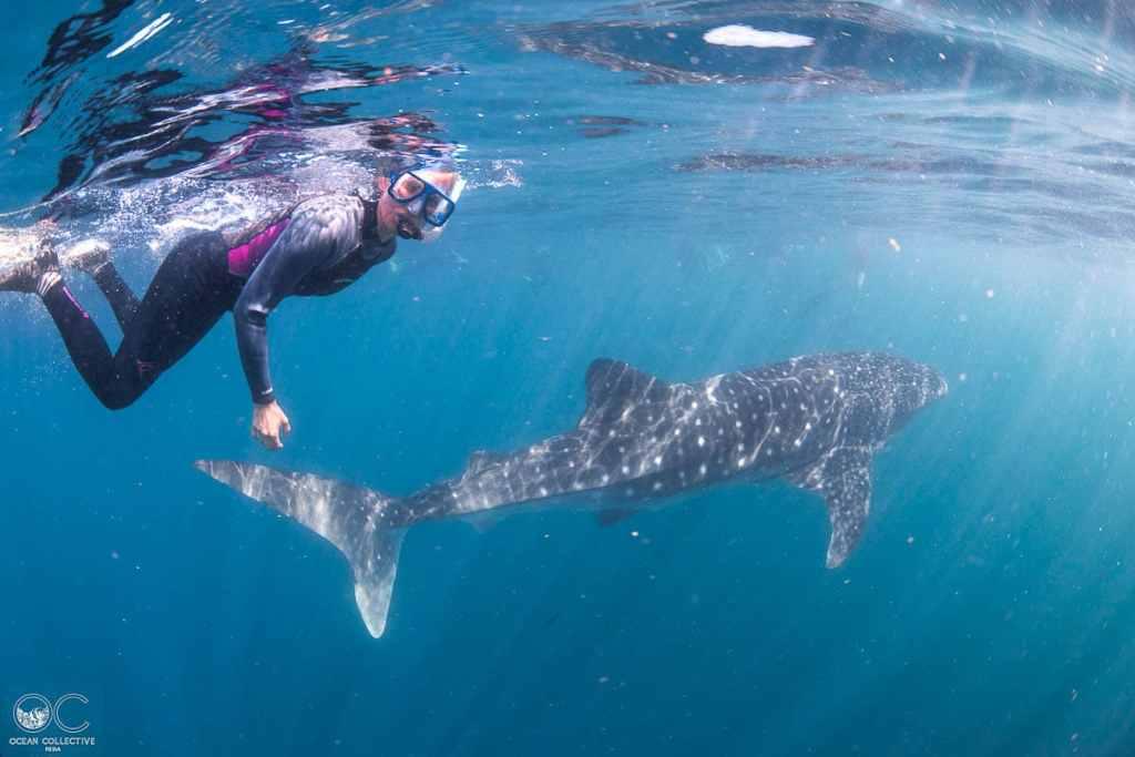 Plongée sous-marine avec requin-baleine à Ningaloo dans notre article Plongée sous-marine : 20 destinations de plongée à travers le monde #plongee #plongeesousmarine #voyage #destination
