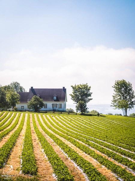 Champs de fraises en été à l'Île d'Orléans dans notre article Visiter l'Île d'Orléans au Québec : Incontournables d'une escapade gourmande lors d'un tour de l'Île d'Orléans #ileorleans #quebec #canada #voyage #escapadegourmande