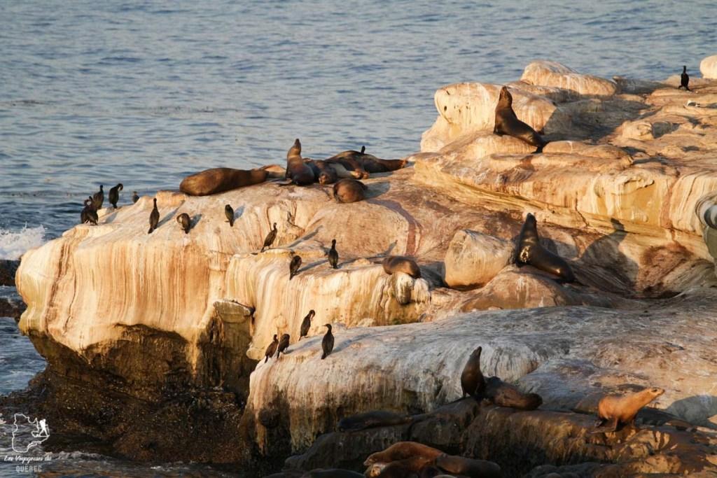 Lions de mer à Jolla Cove à San Diego dans notre article Visiter San Diego aux USA : Que voir et que faire à San Diego en 3 jours #sandiego #californie #usa #voyage