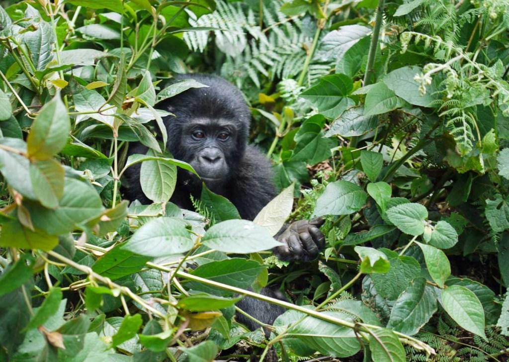 Observation de gorilles de montagne en Ouganda dans notre article Observation des gorilles de montagne en Ouganda à la Bwindi impenetrable forest #ouganda #gorille #singe #afrique #voyage #safari