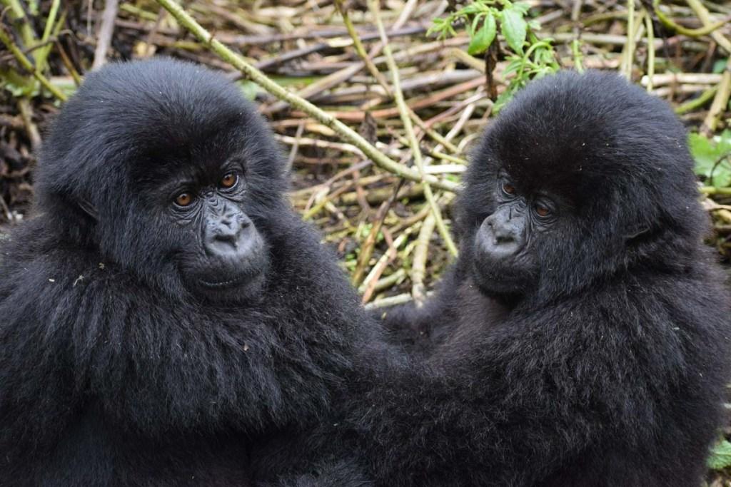 Rencontre avec une famille d gorilles en Ouganda dans notre article Observation des gorilles de montagne en Ouganda à la Bwindi impenetrable forest #ouganda #gorille #singe #afrique #voyage #safari