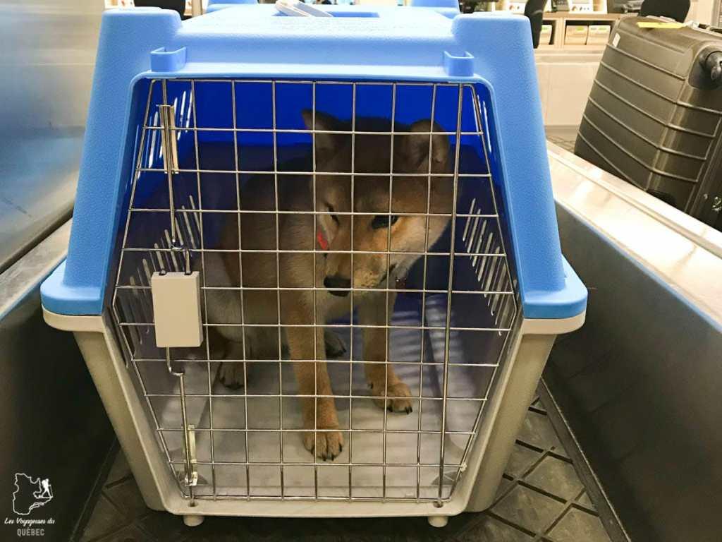 Notre chien en cage au moment de le ramener au Canada dans notre article Ramener un chien de l'étranger, quand rien ne se passe comme prévu #chien #voyage #anecdote