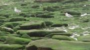 Goélands à la Pointe aux Oies