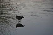Râle d'eau