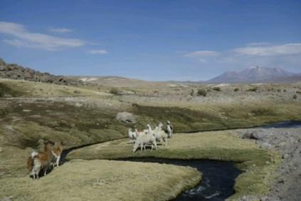 et toujours des lamas