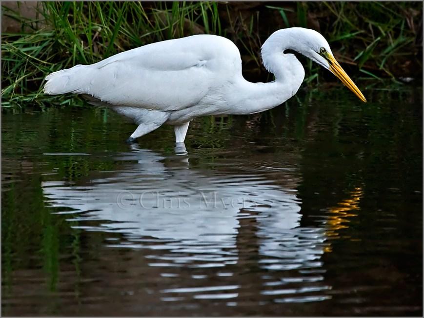 Great Egret Fishing