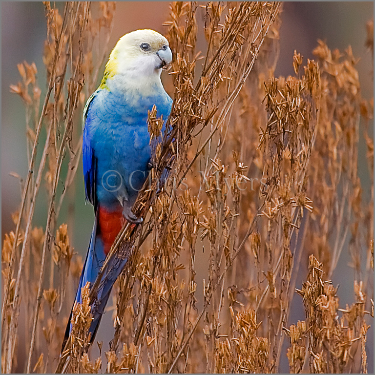 Pale-Headed-Rosella
