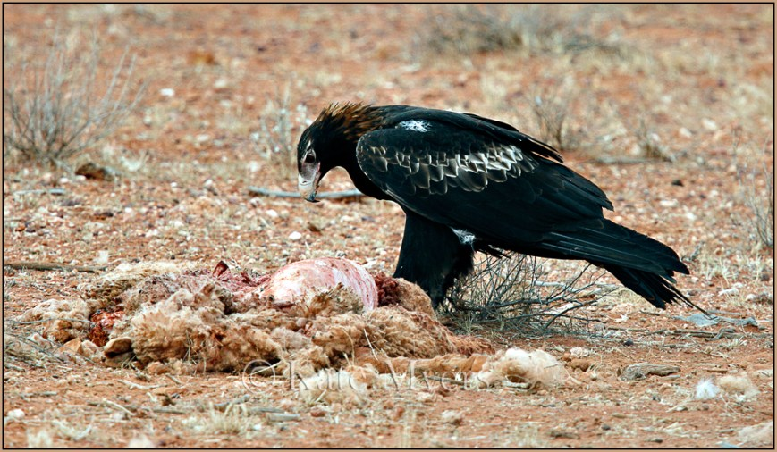 Wedge Tailed Eagle Feasting