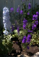 Blue delphinium beside larkspur