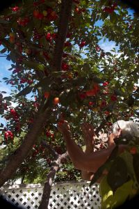 Marlene picking cherries, July
