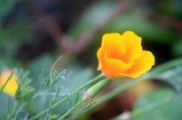 California Poppy blowing in the wind