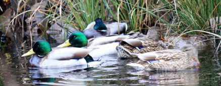 Mallards just waking up. They were sleeping in the pond when I first saw them.