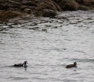 A pair of Harlequin ducks.