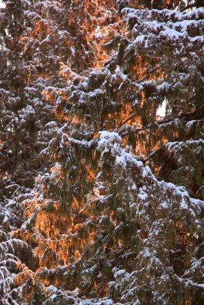 The snow inside the tree is glowing with colour from the sunrise.