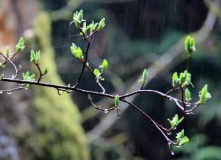 Buds in the Rain