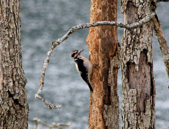 Hairy Woodpecker at Neck Point.