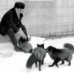 Belyaev with some of his foxes.