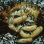 2014-10-02 Ormira ochracera magggots