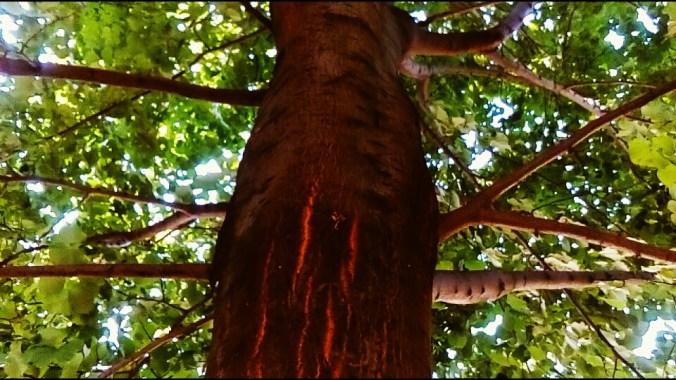 """ALT: """"leto drvo krosnja"""""""