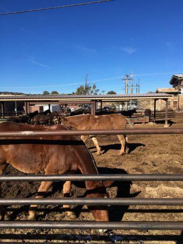 Mules at the Grand Canyon