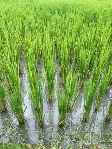 Rice Fields at Blue Tao Elephant Village