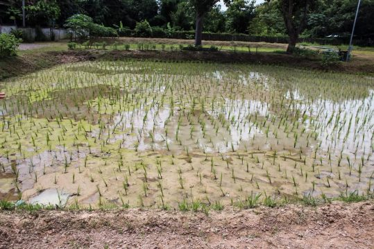 Rice field at the farm
