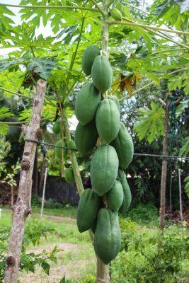 Papaya growing at the farm