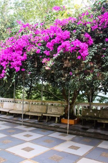 Bougainvillea at Wat Phra That Doi Suthep Chiang Mai