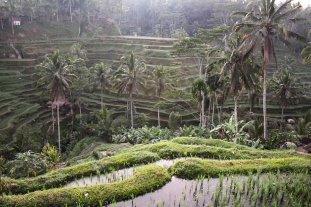 Starting the walk through Tegalalang Rice Terraces in Ubud, Bali