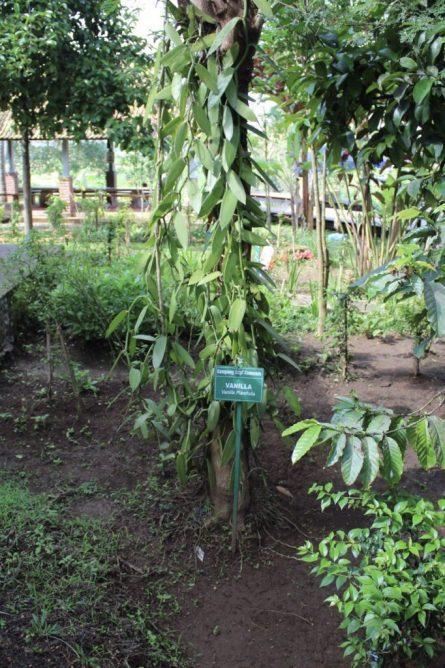 Vanilla plant at Kampung Kopi Coffee plantation Ubud Bali