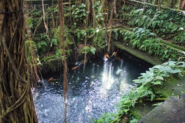 Koi pond in monkey forest ubud, bali