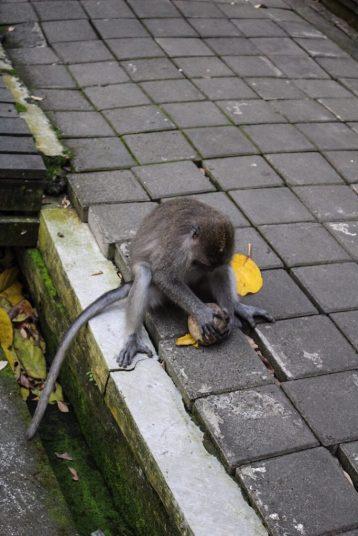 Monkey with a coconut monkey forest ubud bali