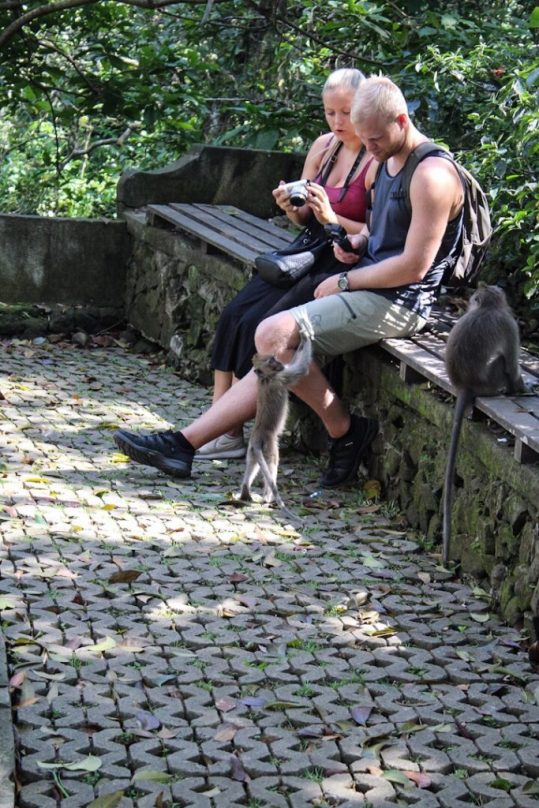 Monkey in monkey forest ubud bali