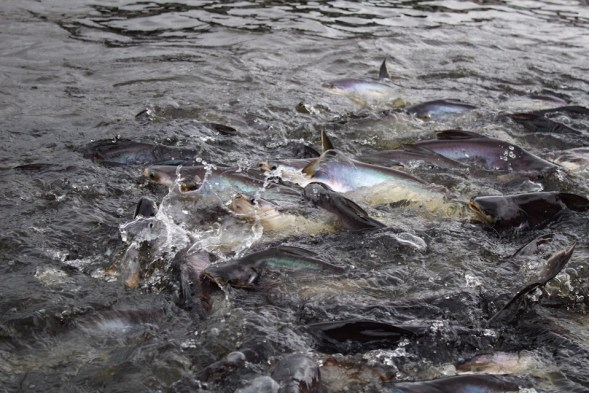Feeding catfish in Bangkok Thailand