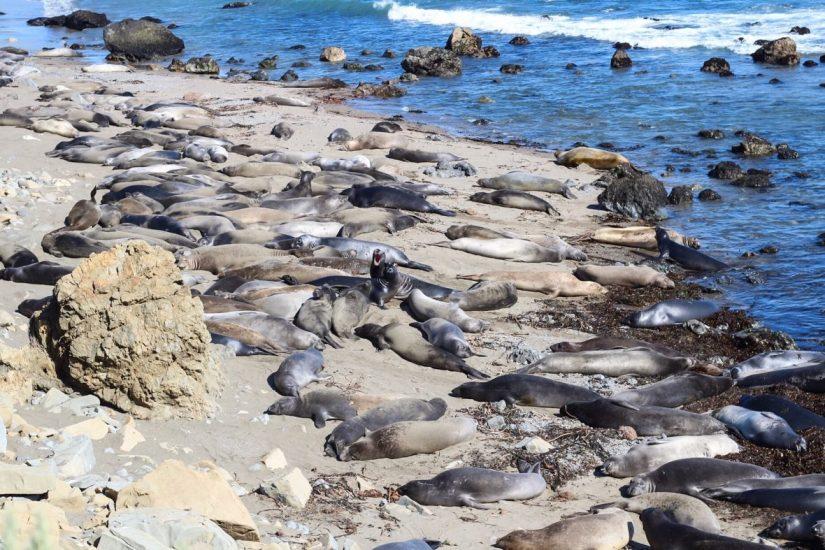 Elephant seals on the beach in California