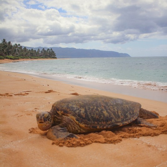 sea turtle on Laniakea beach in oahu hawaii
