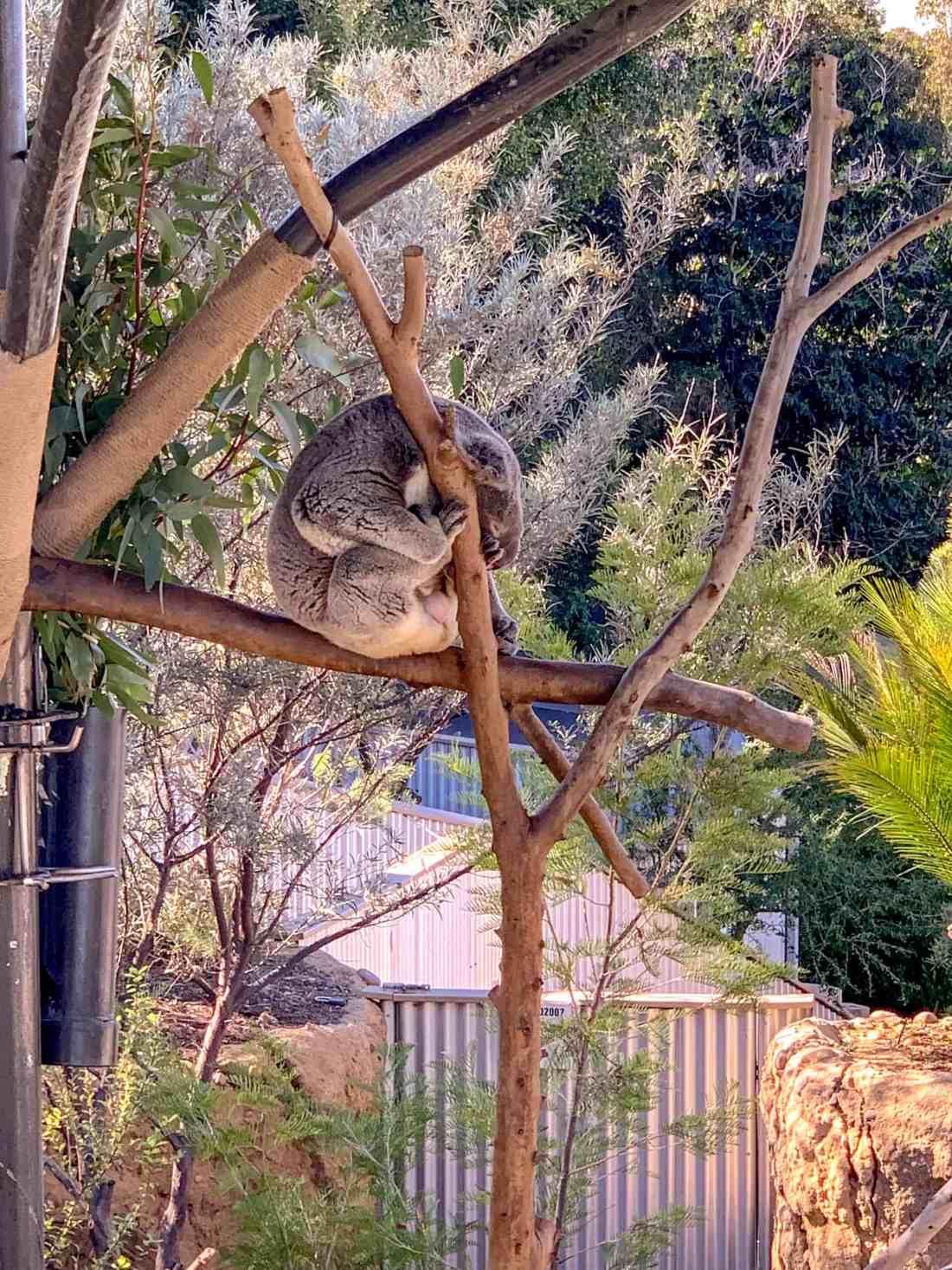 koala san diego zoo